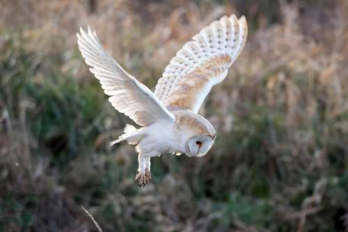 Owl Bird Nature Animal Plumage Raptor Wildlife