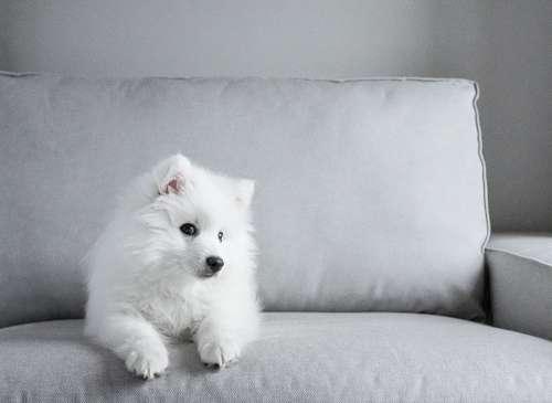 Japanese Tip Spitz Dog Puppy White Fur