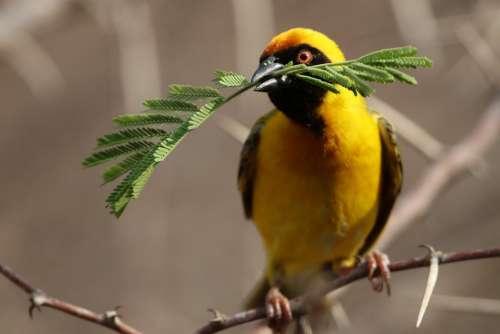 Bird Yellow Botswana Widahfinken Feather Plumage