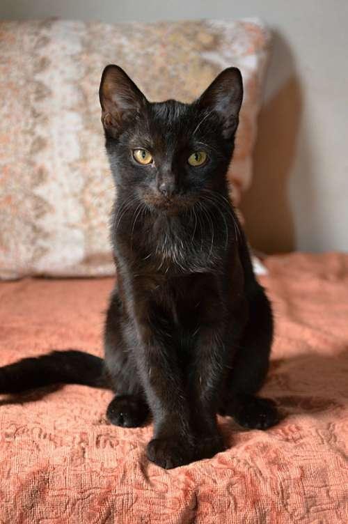 Cat Black Cat Pet Black Animal Feline Kitten