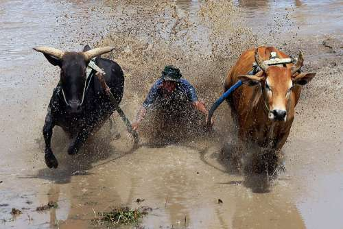 Pacu Jawi Cow Race West Sumatra Animals Competition