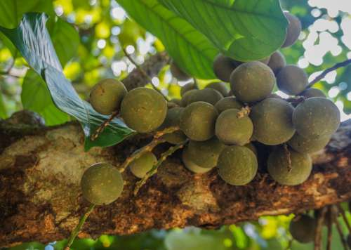 Fruit Lanzones Duku Tree Tropical Nature