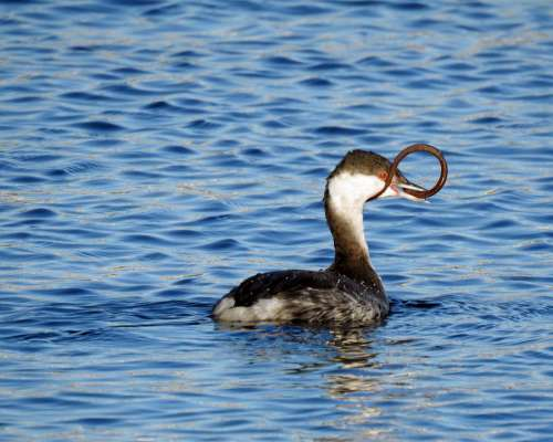 Grebe Eel Nature Wildlife Bird