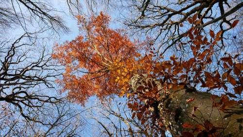 Tree Autumn Forest Nature Orange Beech Peaks