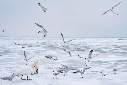 Lake Balaton Winter Swan Seagull Ice Lake Nature