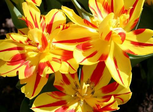 Blooms Flowers Petals Stripes Yellow Colorful
