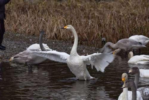 Animal Pond Water Bird Wild Birds Swan