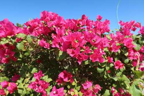 Bougainvillea Flowers Rose Bougainvillea Blossom