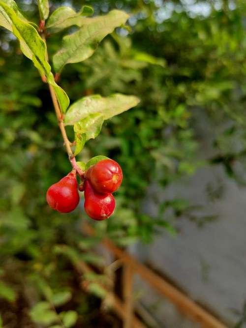 Pomegranate Leaf Green Scenery