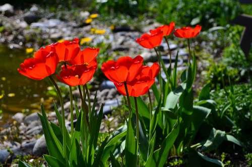 Tulip Garden Flowers Red Bloom