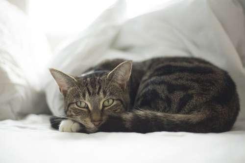 Cat Pet Animal Fur Cute Adorable Resting