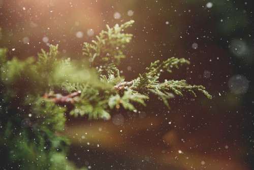 Winter Plant Branch Tree Green Nature Snowflakes