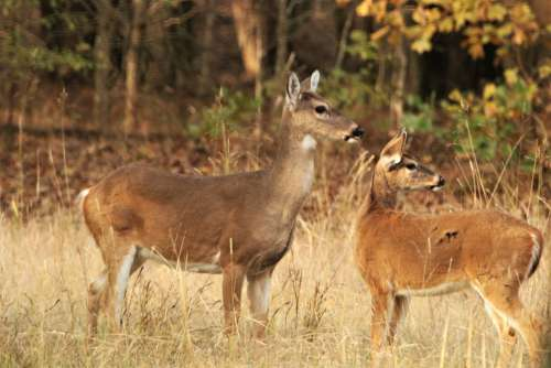 White-tail Doe And Fawn Close-up