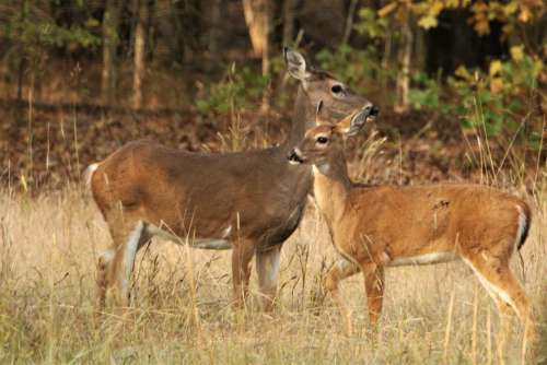 White-tail Doe And Fawn Close-up 2