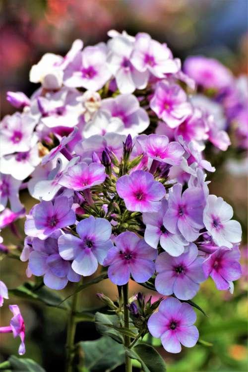 Pink Tall Phlox Flowers Close-up