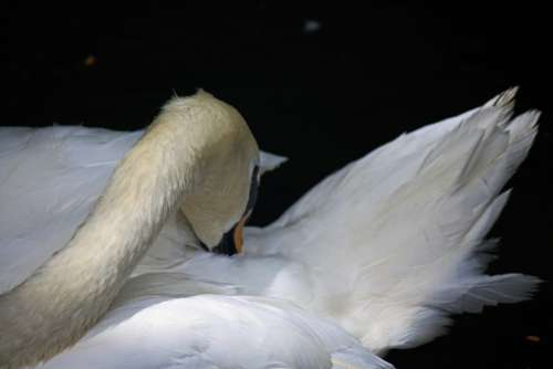 White Swan With Beak In Feathers