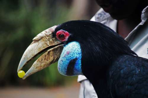 Wreathed Hornbill Bird Eating Grape