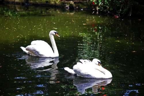 Two White Swans Swimming Around