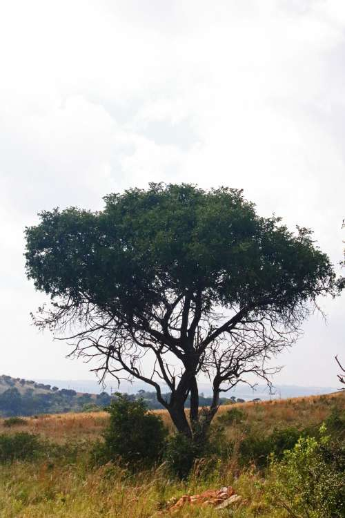 Full View Of Tree On Open Grassland
