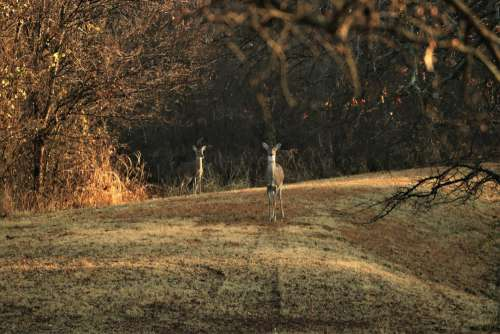 Two White-tail Deer At Sunrise