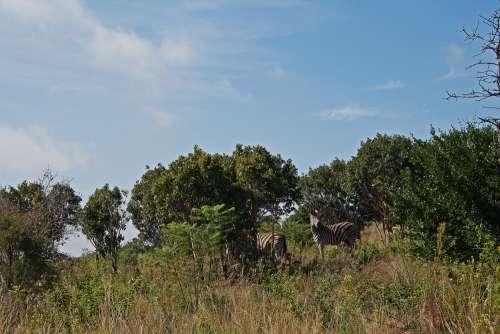 Burchell's Zebra In A Landscape