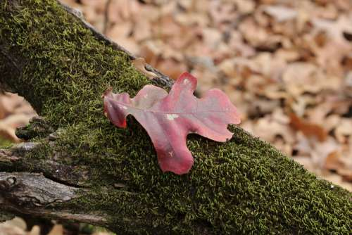 Red Oak Leaf On Moss