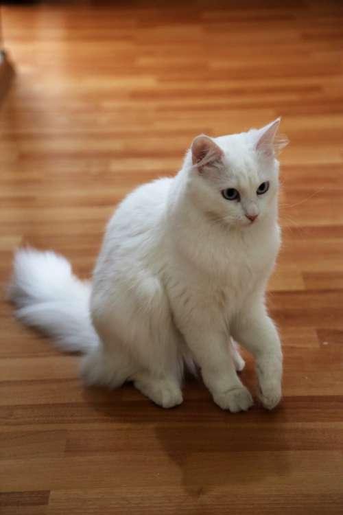 cat animal beautiful domesticated white