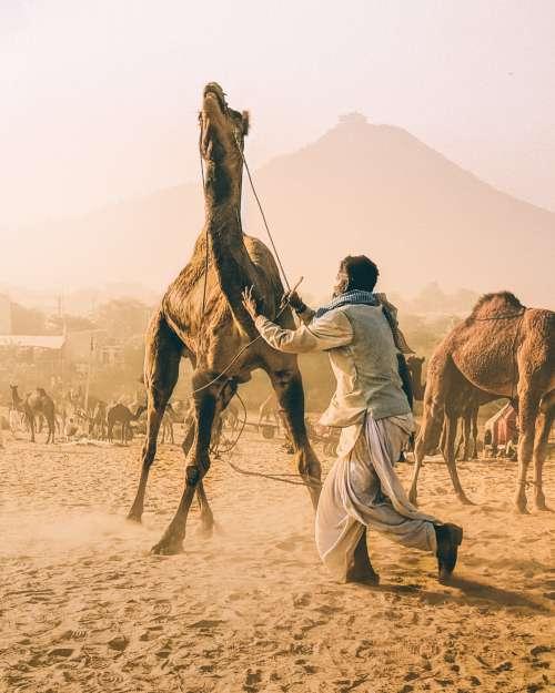 Man Tames Camel Photo