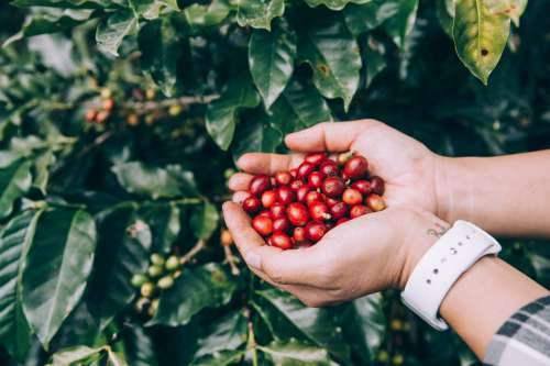 Freshly Picked Coffee Beans Photo