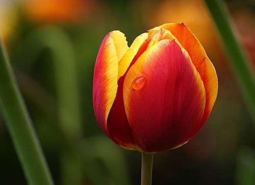Tulip Flower Macro