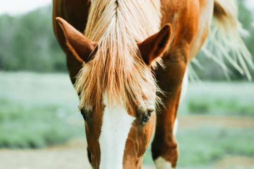 Horse Hair Equine Free Photo
