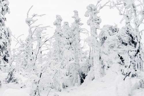 Trees Under Heavy Snow Free Photo