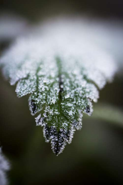 Frost Leaf Macro Hoarfrost Winter Nature Cold