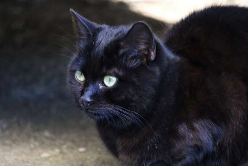 Cat Black Eyes Green Feline Fast Purr