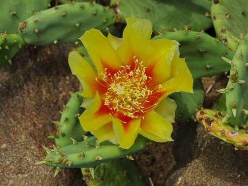 Cactus Blossom Bloom Cactus Blossom Africa Plant