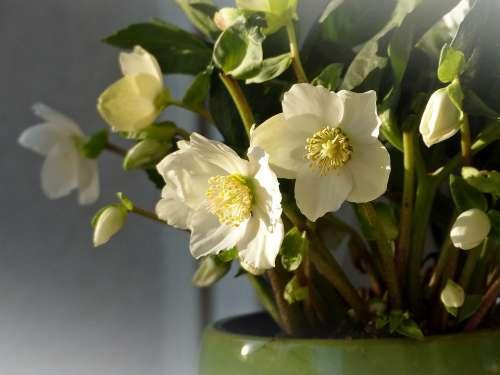 Christmas Rose Anemone Blanda Winterblueher Blossom