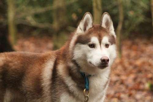 Siberian Husky Husky Dog Pet Animal Fur Domestic