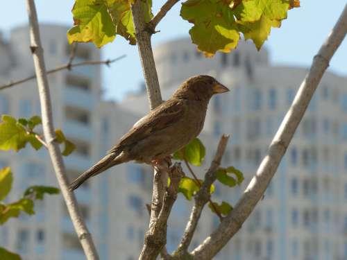 Sparrow Bird Birdie Pen Plumage Birds Nature