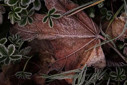 Leaves Hoarfrost Ripe Morning Sun Cold Frozen