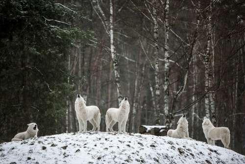 Polarwolf Wolf Wilderness White Forest Winter