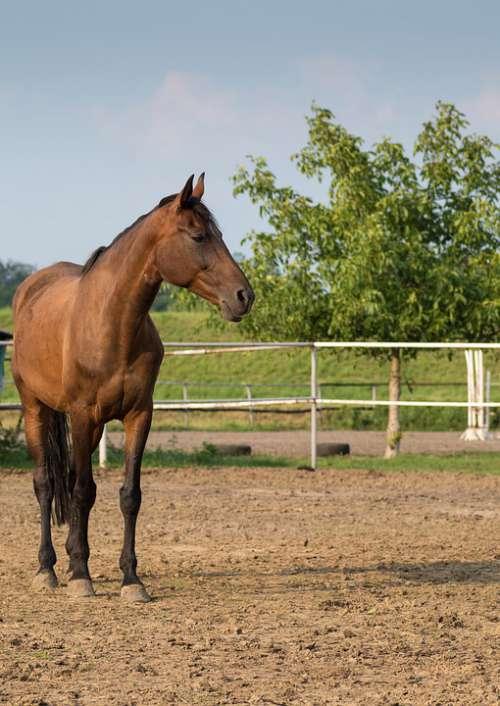 The Horse Stallion Stud Brown Horse Head The Mane