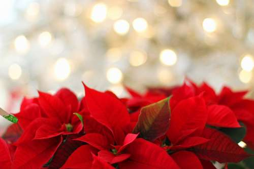 Poinsettia Christmas Christmas Background Red