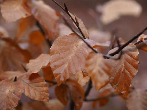 Nature Beech Leaves Color Brown