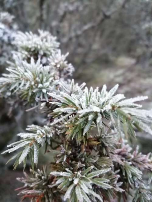 Nature Frost Winter Juniper Forest