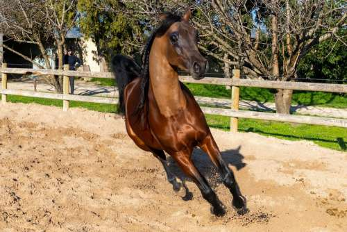 Pure-Blood Arab Horse Dressage Coach Scott Allman