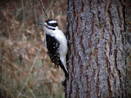 Hairy Woodpecker Woodpecker Hairy Wildlife Nature