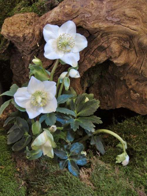 Christian Roses Root Moss Tree Root Green Flower