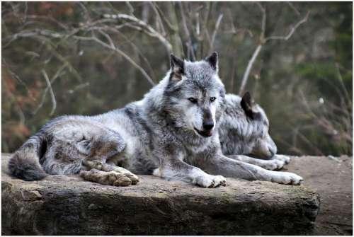 Wolf Zoo Animal Hanover Predator Dangerous