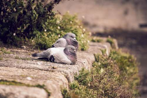 Couple Of Pigeons
