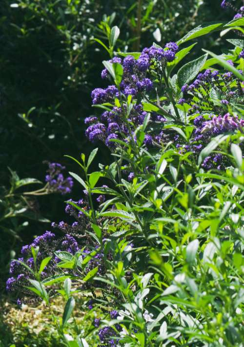Shrub With Purple Flowers